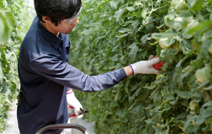トマト作業風景