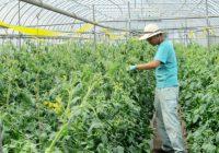 トマト栽培作業風景
